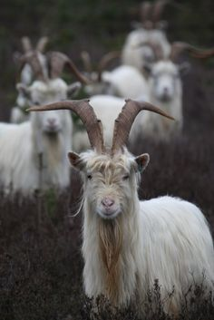 *The Norwegian goat is found throughout Norway.  It is kept for both milk and meat production.  It is found in gray, blue, white or pied coloration.  The Norwegian also has long hair.