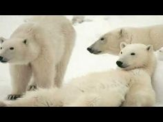 Polar Bear, Animals, Animales, Animaux, Animal, Animais