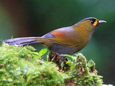 Steer's Liocichla, laughingthrush family. Endemic to Taiwan