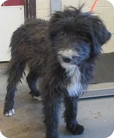 Australian shepherd poodle mix rescue
