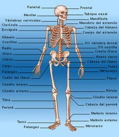 Human Body Bones, Human Body Muscles, Human Body Facts, Human Body Anatomy, Skeleton Muscles, Medicine Notes, Musculoskeletal System, Medical Anatomy, Fitness Exercises