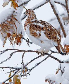 Willow Ptarmigan, Alaskan state bird, blending into the winter landscape.