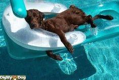 This dog has the right idea! #labradorretriever