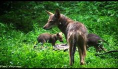 Red wolves at Wolf Conservation Center a Red Wolf Species Survival Plan participant, photo credit theirs.