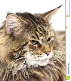 40 Best Maine Coon Cats images in 2011   Animals beautiful