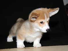 Look at that sweet, curious little baby Corgi!