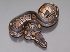 Black Knight - Morph List - World of Ball Pythons. Joel, if we get this variety we HAVE to call it MONTY.