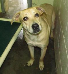 This dog is already fixed and costs nothing to adopt. Lee County Animal Services is a high kill shelter with few local adopters. There are dedicated volunteers to help with transport. If interested call the shelter at: 919 776 7446
