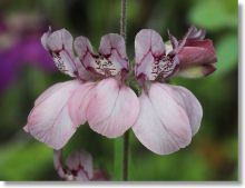 Yosemite Wildflowers: Chinese Houses (Collinsia heterophylla)