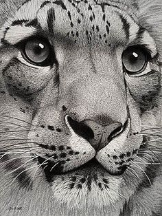 big cat art B&W photo SnowLeopard.jpg - big cat art B&W photo SnowLeopard.jpg big cat art B&W photo SnowLeopard. Amazing Drawings, Cool Drawings, Amazing Art, Drawings In Pencil, Big Cats Art, Cat Art, Scratchboard Art, Scratch Art, Pencil Art