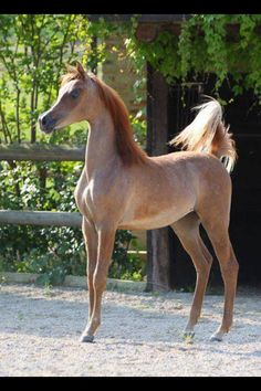 Rose Gray Arabian Horse - by the time this baby is grown, the color will change to all gray.