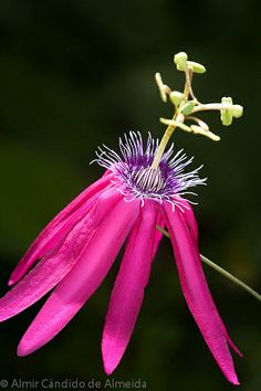 Passion Flower. Passiflora kermesina. Vigorous vines native to Brazil with bright red flowers. rare in cultivation.