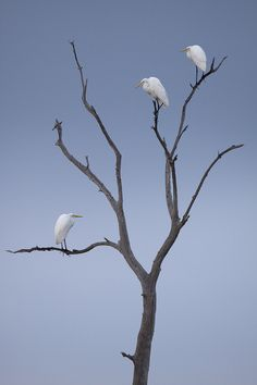 Three Egrets by David Chauvin on 500px.com