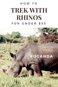 How to trek with rhinos in Uganda for under $55.  A budget wildlife experience at  Ziwa Rhino Sanctuary and an incredible day trip from Kampala