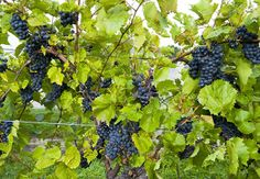 Finger Lakes Region, N.Y.  For Vintage-Wine Enthusiasts:Some 200 vineyards sprout from mountains that plunge into the slender lakes of central New York state. Sit back and sip your way through a winery tour,or find a rocky nook amid the cascades at Watkins Glen State Park.