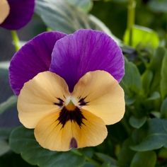 BEL VISO VIOLA FLOWER SEED MIX 35 SHADE LOVING PERENNIAL