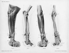 These are medial, caudal and palmar views of the musculoskeletal system of the left forelimb, from the elbow down.image