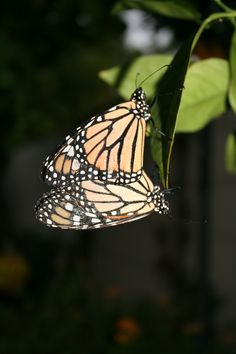 Mating monarchs. This takes two hours.  Butterfly lady's garden.