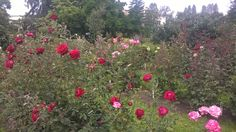 Some of the gorgeous roses in the botanical garden in Cluj