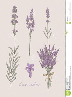 Illustration about Lavender pencil drawing set on white. Illustration of plant, violet, aromatherapy - 24603877 Tattoo Sketches, Tattoo Drawings, Body Art Tattoos, Small Tattoos, Tatoos, Spine Tattoos, Piercings, Piercing Tattoo, Botanical Drawings