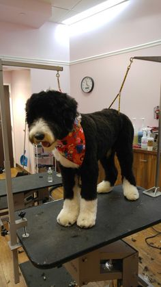 Cooper the Sheepadoodle!