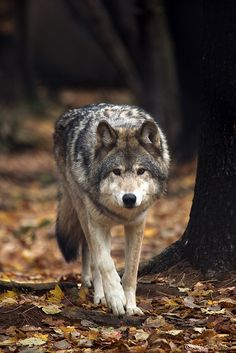 wolf starts to sneak up on them and then dashing toward them. They are expecting a wolf to jump on them but instead the wolf jumps and in mid air it turns into a human. Wolf Photos, Wolf Pictures, Animal Pictures, Beautiful Creatures, Animals Beautiful, Tier Wolf, Malamute, Animals And Pets, Cute Animals