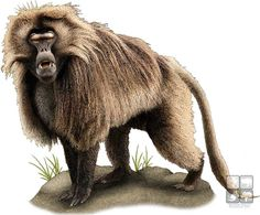 baboon illustrations - Google Search