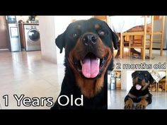 Rottweiler Bison before and after - YouTube