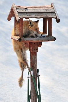 "He is the ""north fox"" which lives in Hokkaido in Japan. He hangs on to the stand for birds in the yard of my house, and comes to eat.. Mr.Fox is eating  bird's foods by Kent Shiraishi"