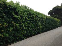If you don't use bamboo for the Eastern boundary hedge, you could use Waterhousia floribunda- It can grow to high and is very drought tolerant Succulent Landscaping, Landscaping Tips, Hedge Trees, Landscape Design, Garden Design, Coastal Gardens, Balcony Garden, Drought Tolerant, Outdoor Plants