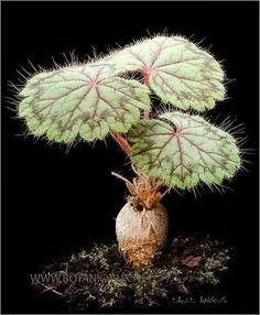 Pelargonium-radiatum-2