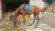 My very own boy Chester wearing eskadron cyan star pad with matching accessories purchased from fur feather meds Ltd