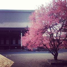 興正寺の紅梅 満開です  Koushouji temple, #Kyoto - @yocca- #webstagram