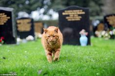 Barney the cemetery cat who has consoled mourners for 20 years. See SWNS story SWCAT; Tributes have been paid to a much-loved cemetery cat who consoled mourners for 20 YEARS - and has now been BURIED there. Ginger tabby Barney spent his days walking the grounds of the burial site offering comfort to grieving loved ones during funerals and graveyard visits. He died aged 20 on Friday evening from old age. And one of his keepers Alan Curzon has confirmed he has now been laid to rest at the…