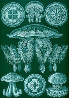 "Ernst Haeckel  - Discomedusae, ""Formes artistiques de la nature"""