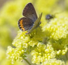 Acmon Blue Butterfly on Sulfur Buckwheat in the Santa Margarita garden. Acmon Blue Butterfly on Sulf Butterfly Plants, Blue Butterfly, Butterflies, Nature Plants, Garden Plants, California Flowers, California Native Garden, Flying Flowers, Plants Online