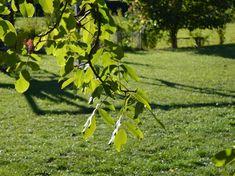 Diófa alatt a fű se nő. Vagy mégis?