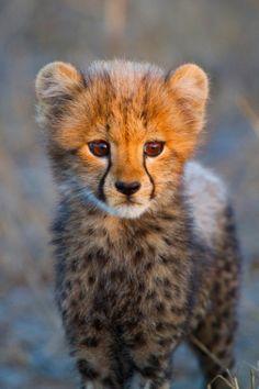 - A beautiful young cheetah cub.