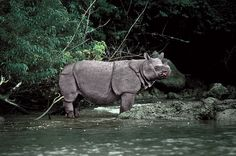 Javan Rhinoceros, perhaps the planet's rarest large mammal, are found in Indonesia and Vietnam. Fewer than 60 of these magnificent animals remain. Its horn is prized by poachers, and its forests are prized by developers. Both could spell doom for the species.