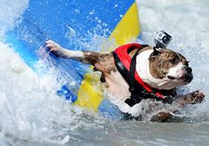 A dog falls off its surfboard
