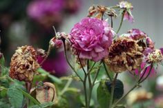 Deadheading Roses: How To Deadhead Roses For More Blooms
