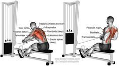 Cable row. A major compound exercise. Target muscle: None. Multiple back, arm, and shoulder muscles act in synergy. Synergists: Erector Spinae, Middle and Lower Trapezii, Rhomboids, Latissimus Dorsi, Teres Major, Posterior Deltoid, Infraspinatus, Teres Minor, Brachialis, Brachioradialis, and Pectoralis Major. Note: This is not the straight-back variation, hence Erector Spinae listed as synergists.