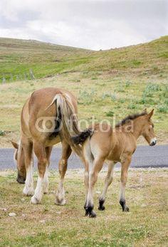 Cavalla con puledro - Mare with foal © Pietro D'Antonio