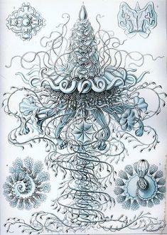 Siphonophora illustration by Ernst Häckel.