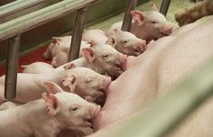 Hog farm opposition files appeal of Department of Natural Resources permit