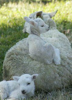 """Greta"", one of our Gulf Coast Native Sheep, with twins ""Spruce"" (on back) & ""Cedar"". Baby Sheep, Cute Sheep, Sheep Farm, Sheep And Lamb, Cute Baby Animals, Farm Animals, Animals And Pets, Funny Animals, Beautiful Creatures"