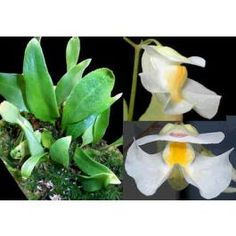 Graines Utricularia Alpina - See more at…