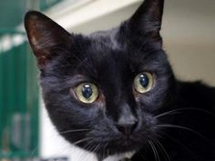 FAFELO – A1078009 | NYC AC&C Urgent Cats