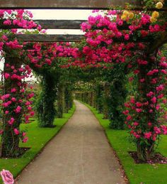 Rose archways