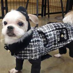 #대슈 #꼬까옷 입고♡  #시츄  #코콜라 #coccola  #도그존 #dogzone #강남애견카페 @dogzone0427